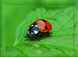 Lady Bug by FrankAndCarySTOCK