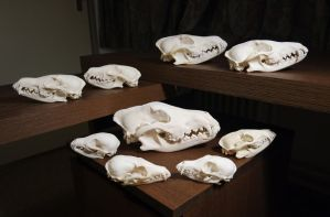 My canine skull collection by Exifia