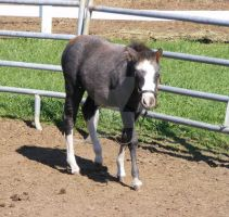 Miniature Horse 2 by EquineStockImagery