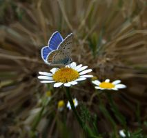daises and butterly by lisans