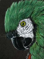 Severe Macaw ACEO by The-GoblinQueen