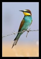 Bee-Eater by RoieG