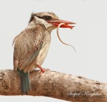 Striped Kingfisher by Jamie-MacArthur