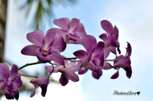 Orchids in pastel by gigi50