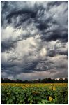 Thuderstorms and Sunflowers by kkart