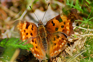 Comma butterfly by Tapire