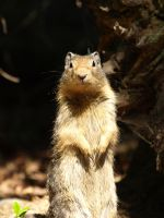Ground squirrel by P8ntBal1551