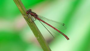 Large Red Damselfly 1600x900 4 by aradilon