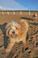 Two lucky tibetan Terrier by brijome