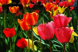 Bunch of Tulips 2 by Gryphtor