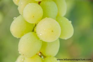 Grapes by alanove