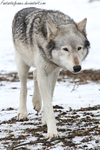 Canadian Timber Wolf by FantasticFennec