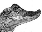 CROC. by toad7