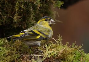 In the thick of it - Siskin - male by Jamie-MacArthur
