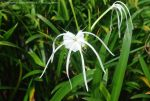 Spider Lily by Hitomii