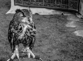 Owl by friartuck40
