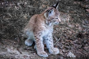 Lynx V by FGW-Photography
