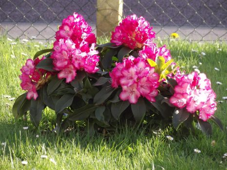 mon rhododendron by sandra62140