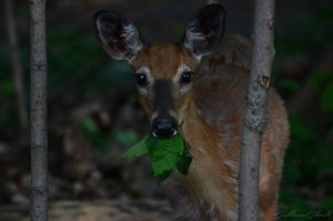 Evening snack for the young deer by GuillaumGibault