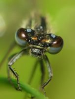 damselfly by decmeister