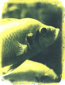 Fish - Gum over Cyanotype by coldmarble