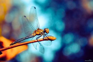 Dragonfly prepares for flight. by GraphPetr