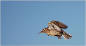 Motion of a Meadowlark by SuicideBySafetyPin
