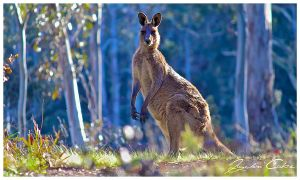 Barrington Tops Kangaroo by jaydoncabe