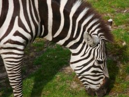 Zebra Meal Time by KayleiImagery