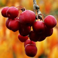 Japanese Crab Apple by EarthHart
