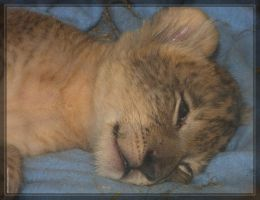 Lion baby 40D0017253 by Cristian-M