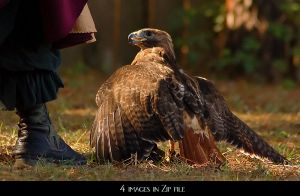 Redtail Hawk on lure by SalsolaStock