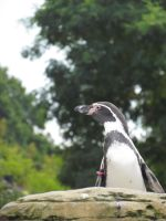 Penguin in Profile Again by SubRosa-undertherose