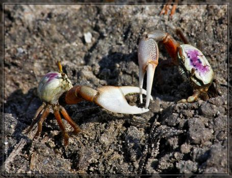 Sand Fiddler Crabs 40D0042644 by Cristian-M