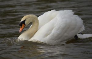 Swans 2014 2 1 by melrissbrook