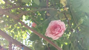 Lone Rose by FrozenLauraCLC