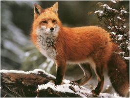 Say hi to the red fox by Anthraxdeathrider