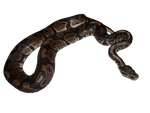 baby ball python png 1 by Irisustockimages
