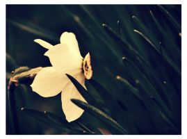Narcissus by Drems20