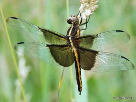 Dragonfly just chillin' by ThunderhillPaints