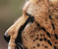 Cheetah by rhiannonphillips