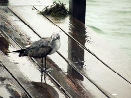 Seagull by Michayla-Marie