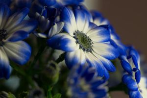 Cineraria by FeralWhippet
