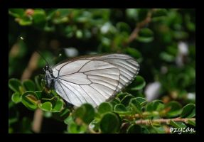 butterfly by ozycan