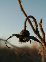 Thorny seed pod by BloodiedGypsy