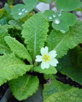 Primrose And Dew Drops In Garden by SrTw
