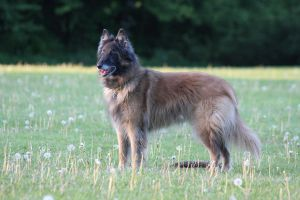 Belgian shepherd dog tervueran by JuliZib