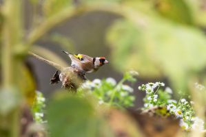 Cardellino - Carduelis carduelis - goldfinch by zaffonato