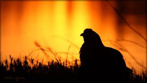 Black grouse silhouette 1 by Starfall00