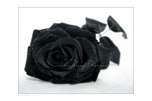 :: Black rose :: by Liek